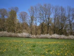 Ökologischer Waldrand mit einer dichten Schlehenhecke und davor eine ungedüngte Naturwiese mit Löwenzahnblüte
