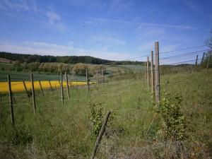 Weinberg mit einem phantastisch blauem Himmel und einem Streifen leuchtend gelbem Raps, der Ölpflanze des Nordens im Mai 2016. Foto: Imkerei Oswald