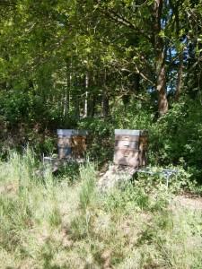 Die Völker stehen im Halbschatten und befinden sich in einem harmonischen, heilsamen Zustand. Ihnen tut die Wärme und die Aktivität sichtlich gut. Im Mai freuen sich alle Waldtiere einschließlich den Honigbienen, unseren gestreiften kleinen Honigsammlerinnen. Foto: bio-honig.com H.G.u.R.Oswald GbR 2016