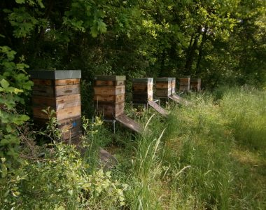 Foto von einem Bienenstand im Monat Mai. Zu sehen sind zehn Bienenvölker in hölkzernen Bienenkästen mit Honigaufsätzen und langen Anflugbrettern aus Holz am Waldrand unter einer großen Buche.