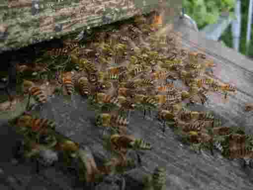Bienen haben sich zum Sterzeln auf dem Flugbrett in einer dreieckigen Formation angeordnet.