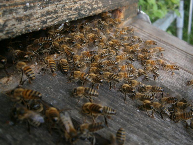 Wenn Jungköniginnen ausfliegen, geben daheimgebliebene Bienen oft Duftsignale für eine sichere Rückkehr ab.
