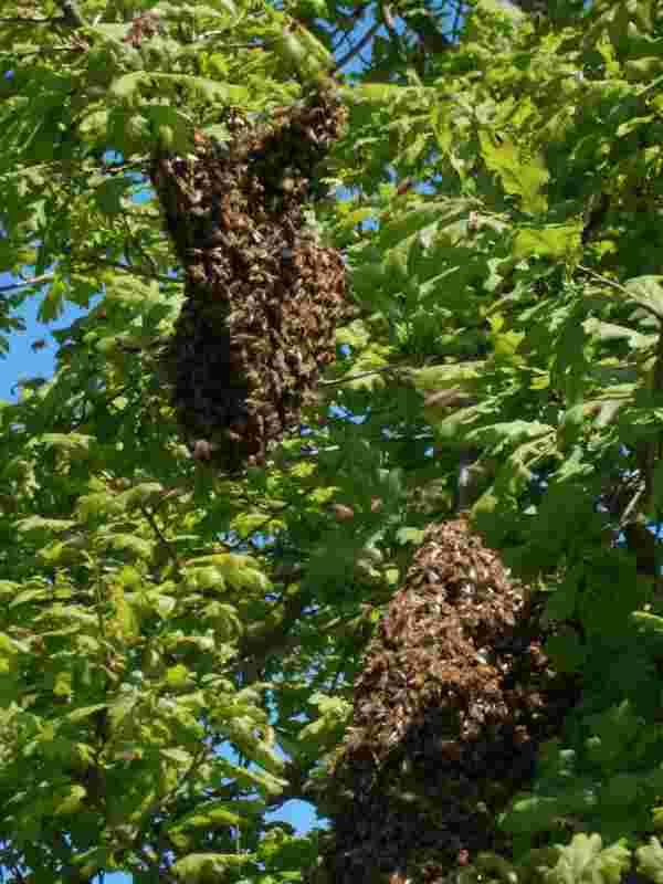 Zwei kleine Bienenschwärme an einer Eiche hängend.