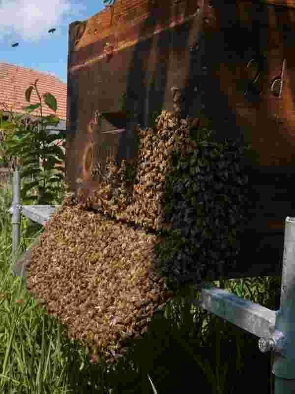 Der neu einlogierte Bienenschwarm in seiner neuen Behausung.