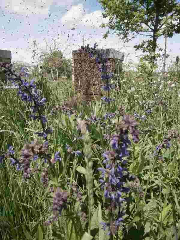 Schwärmendes Bienenvolk im Rondell der Imkerei Oswald. Die Königin befindet sich irgendwo in dem Getümmel. 2016.