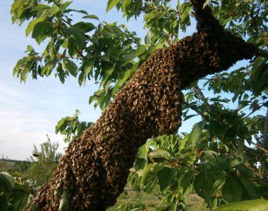 Ein langgezogener Bienenschwarm, wie er an einem Eichenast hängt.