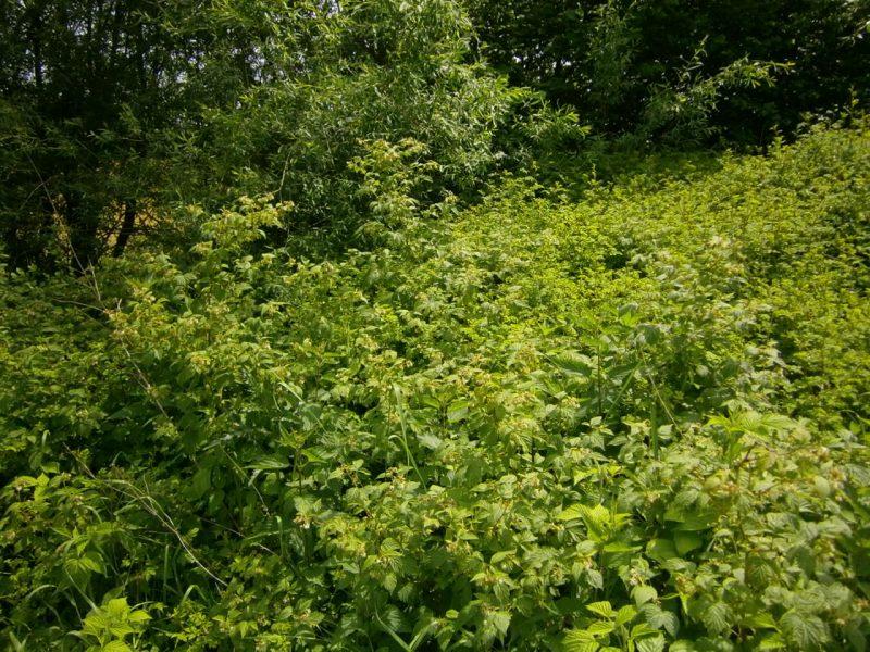 Dichte Bienenhecke aus Wildrose und wilder Himbeere am Bienenstand zur Erzeugung von Himbeerhonig.