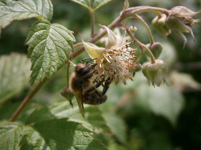 Ein Honigbiene auf einer Himbeerblüte sitzend.