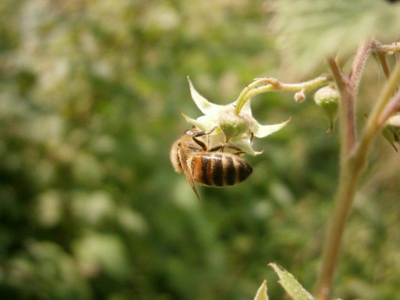 Biene sammelt kopfüber Himbeerblütennektar an einer Wildblüte