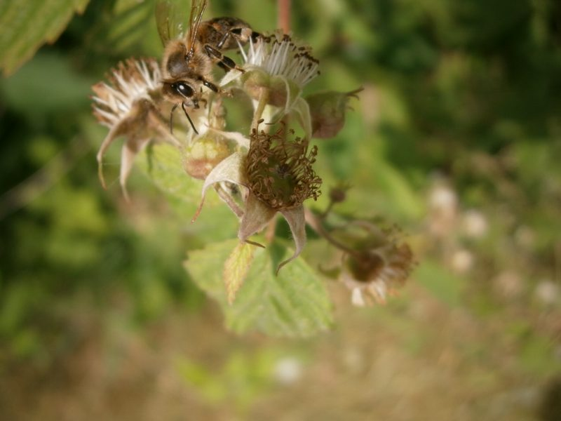 Das Bienenauge ist in der Nahaufnahme gut zu sehen.