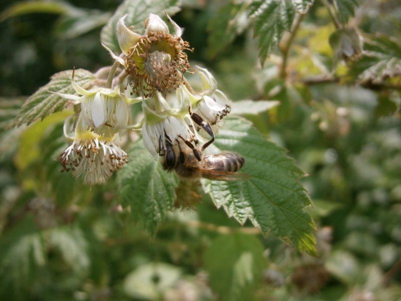 Eine Biene saugt Nektar von einer Blüte.