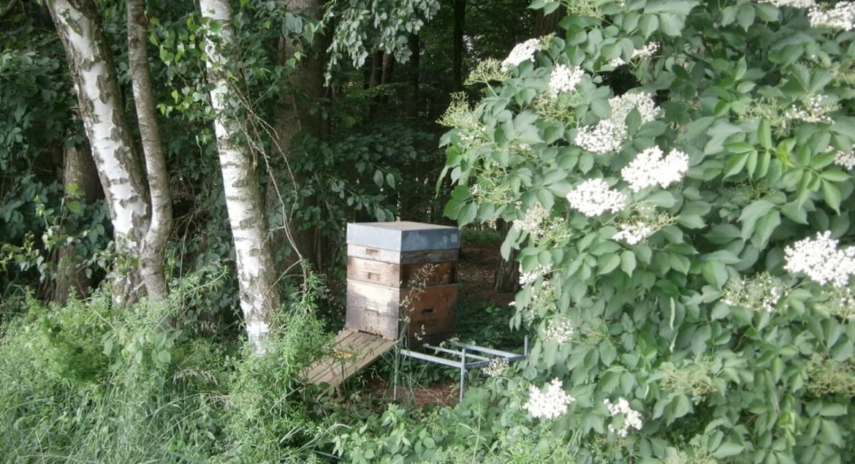 Holunder & Honig produzierendes Bienenvolk neben einem Schwarzen Holunder im Wald.