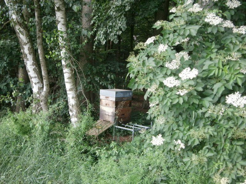 Honig produzierendes Bienenvolk neben einem Schwarzen Holunder im Wald.