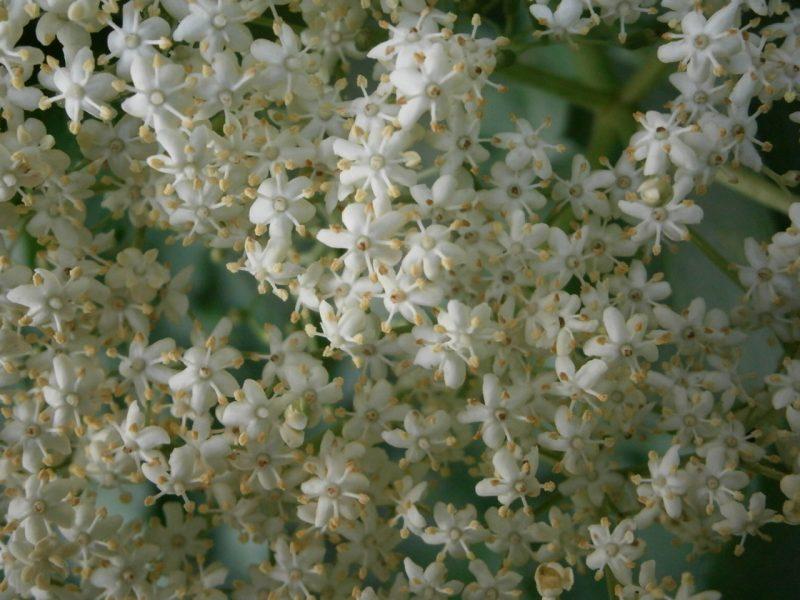 Holunderblüten können für eine Bowle Verwendung finden, oder als Holunderküchel. Die ganzen Blütendolden werden in Teig getunkt und in heißem Fett herausgebacken, und anschließend mit Honig bestrichen.