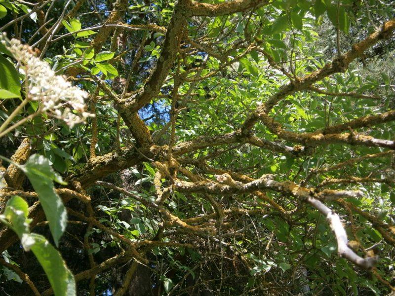 Ein alter Holunderbusch ist eine Zeigerpflanze für einen intakten Waldrand.