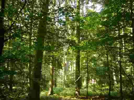 Im sommerlichen Laubwald fällt weiches Licht durch das Blätterdach.