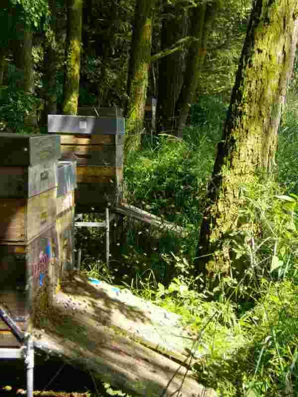 Holunder & Honig : Waldbienenvölker