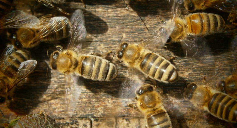Sommersonnenwende: Die schön gestreiften Honigbienen der Oswalds.