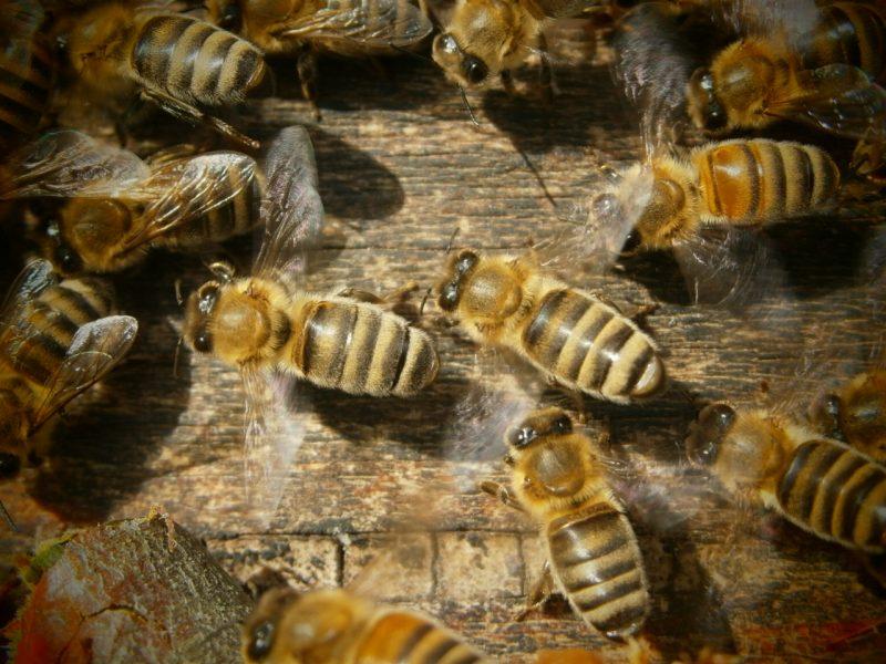 Die schön gestreiften Honigbienen der Oswalds.