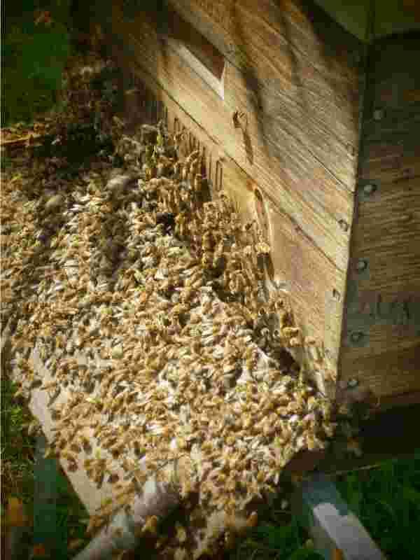 Ökologische Schwarmbienenhaltung: Ein Bienenschwarm zieht in den Bienenkasten ein.