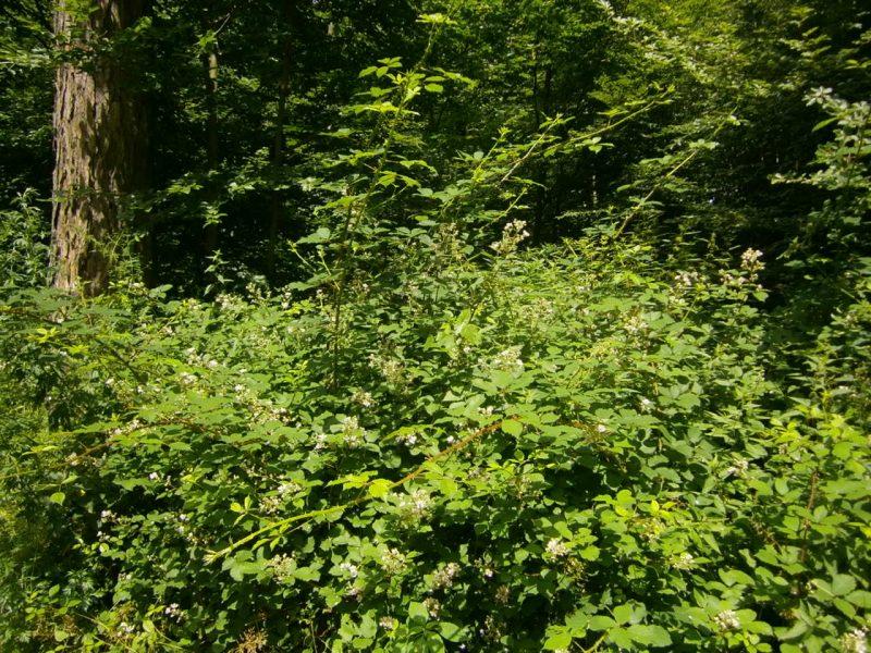 Honig kaufen Waldblüte; Brombeeerstraäucher im Wald.