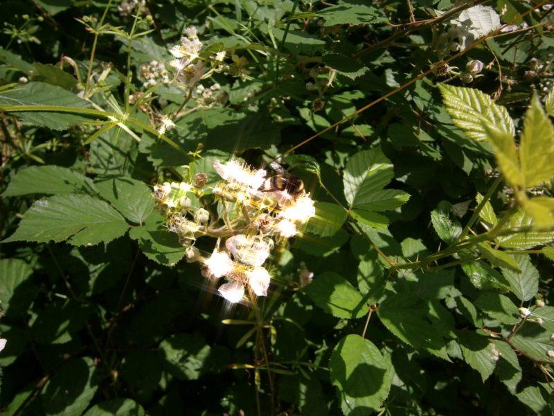 Gartenhummel auf Brombeerblüte.