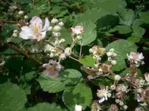 Blütenhonig neue Ernte. Blüten der Waldbeere.
