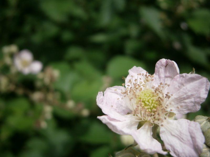 Die weiße Blüte der Brombeere.
