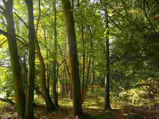 Lindenbäume im Lindenwald im Altweibersommer 2016.