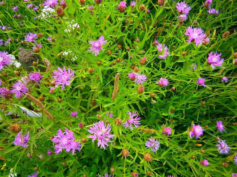 Eine Öko-Blumenwiese mit rosa Blüten-