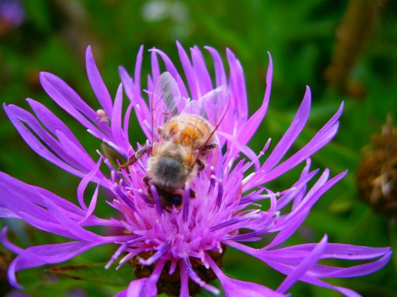 Eine lederbraune Biene auf einer lilaffarbenen Blüte.
