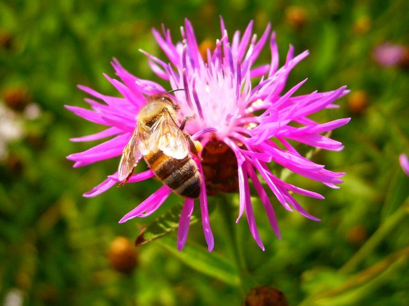 Eine pollensammelnde Biene.