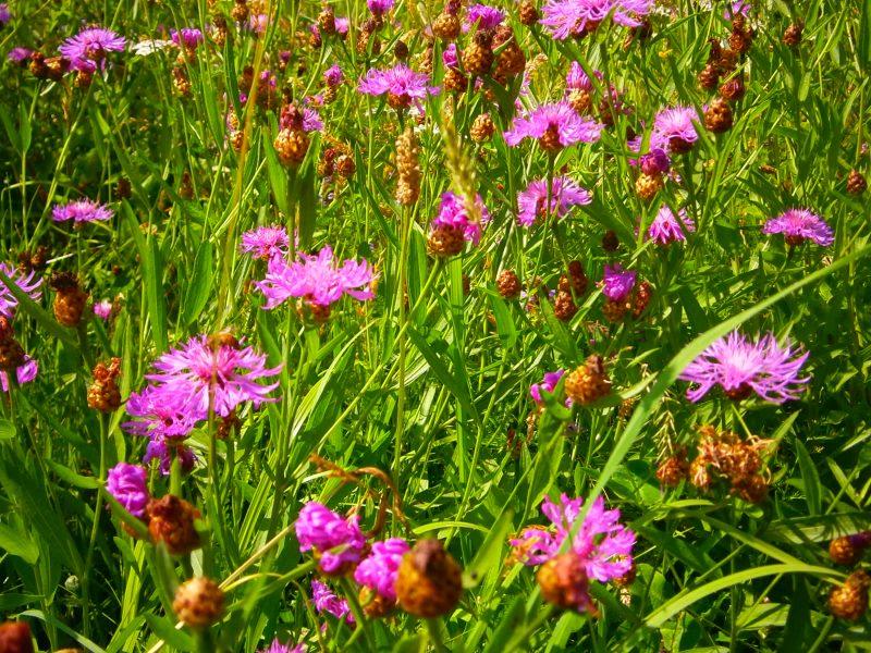 Blumenwiese mit leuchtenden Blüten in Magenta.