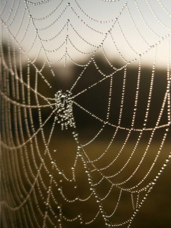 Tautropfen im Morgensonnenlicht an einem Spinnennetz.