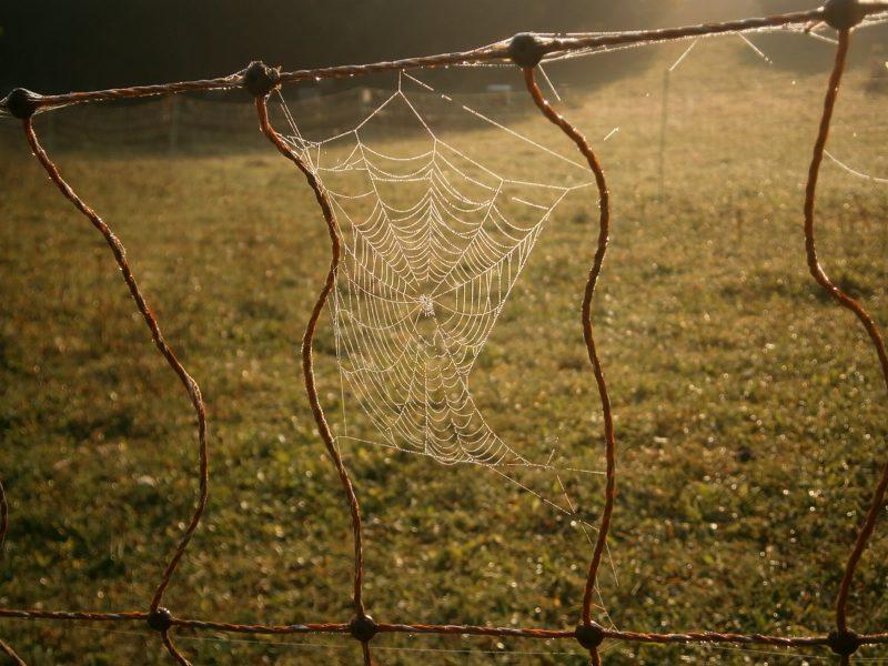 Spinnennetz mit Tautropfen in einem Zaunsegment eines Schafnetzes auf der Schafweide von Imkerei Oswald. Foto: bio-honig.com