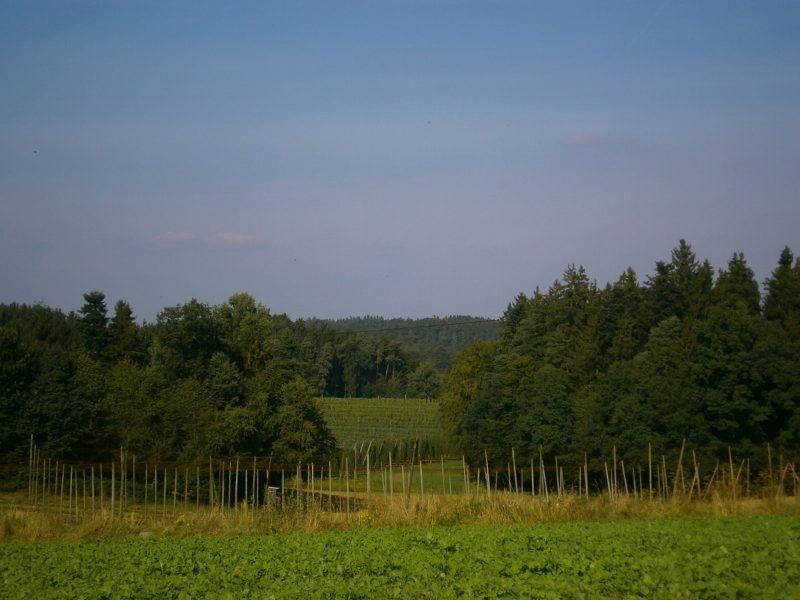 Hopfengärten in der Hallertau, eingerahmt von Wald.