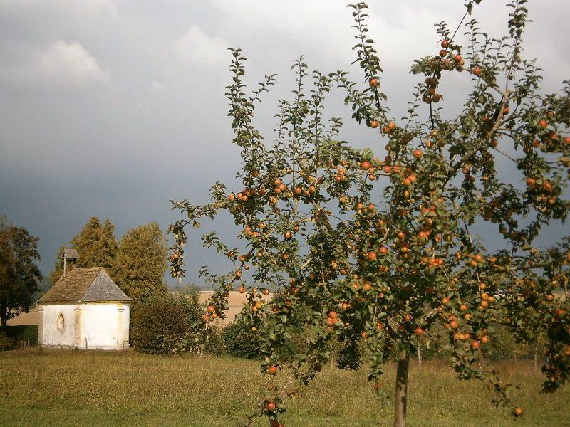 Ein Apfelbäumchen der Sorte Rewena (vor 13 Jahren gepflanzt).