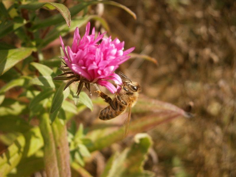 Honigbienchen auf Asternblüte.