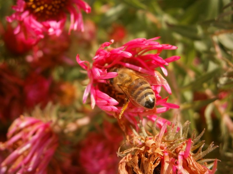 Eine Winterbiene auf einer purpurroten Asternblüte.
