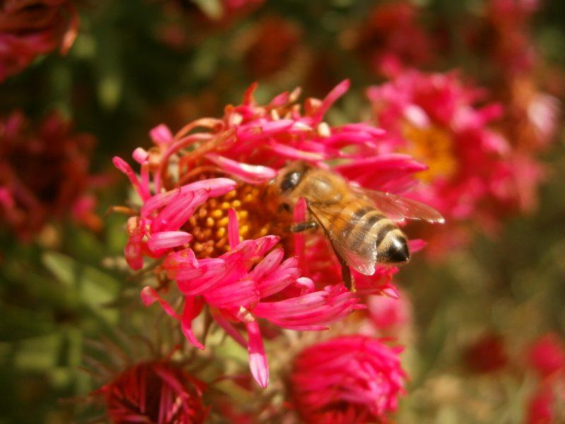 Eine schöne Biene aus Familie Oswalds Bienenhaltung auf einer schönen Blüte.