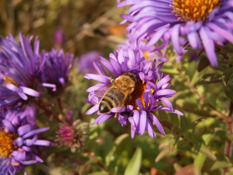 Eine gestreifte Honigbiene saugt Blütensubstanzen von einer lila Blüte.