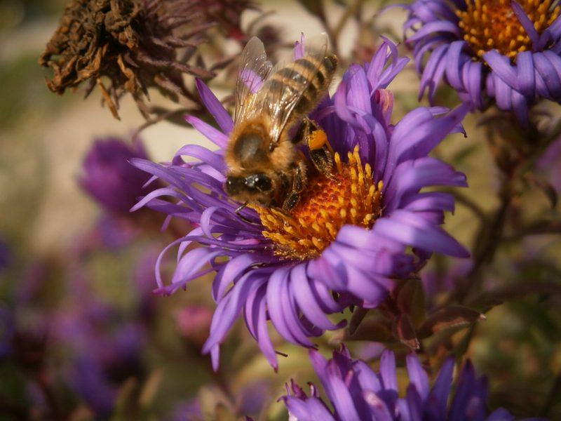 Pollensammelnde Biene.