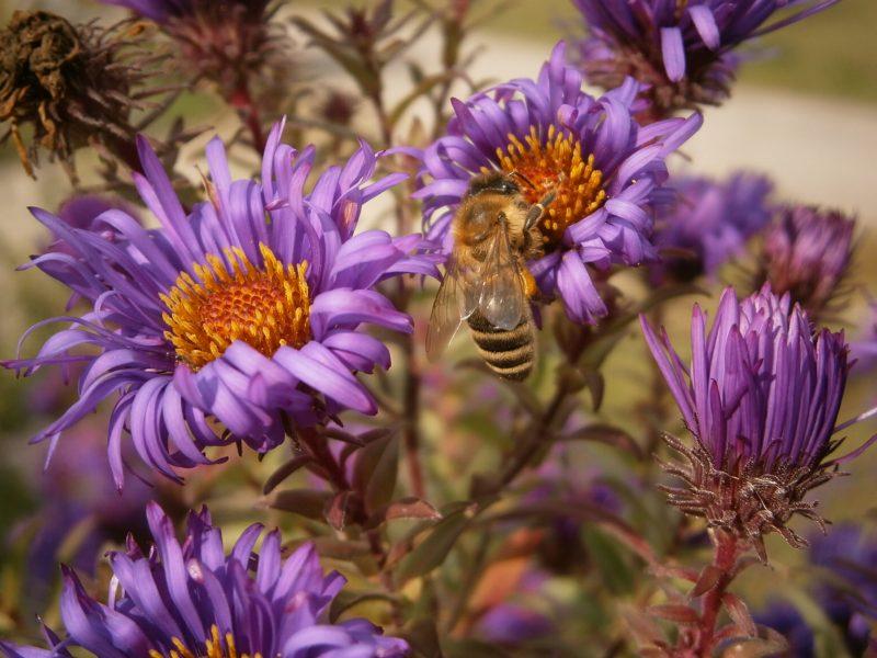 Bienen auf  einzigartig schönen Blüten.