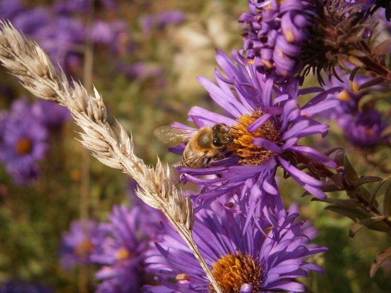 Biene auf Blütenpflanze.