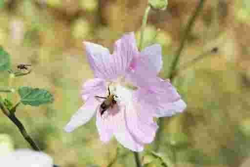 Biene trinkt Nektar auf Strachmalvenblüte.