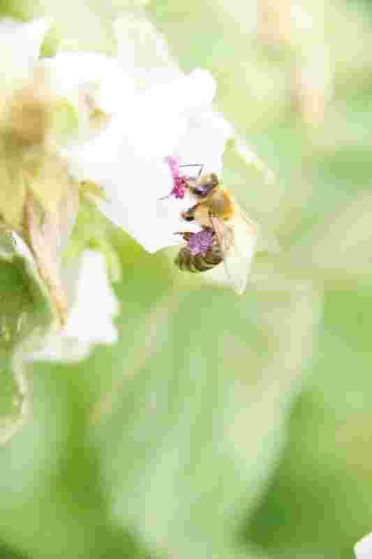 Pollen-Biene mit lila Pollen.