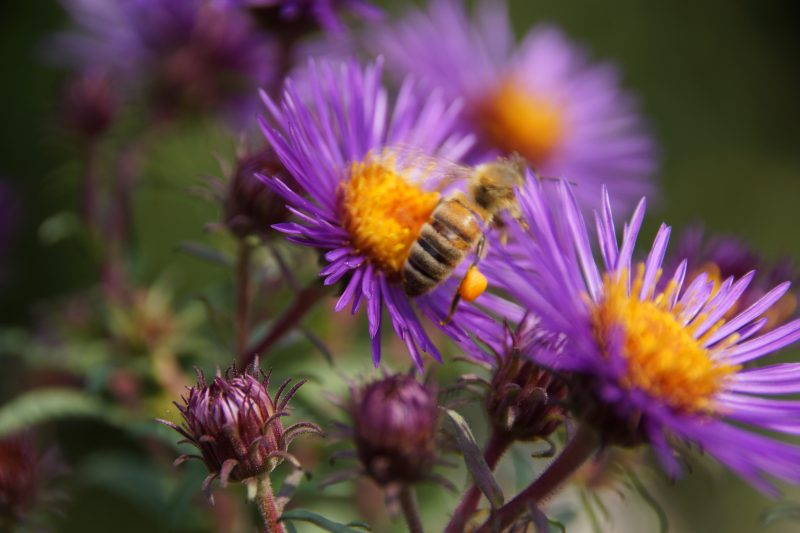 Biene beim Pollensammeln auf Rauhblattasterblüte.