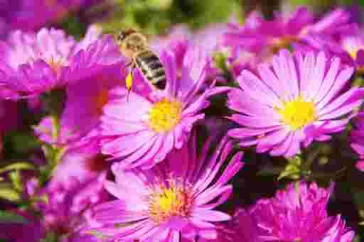 Biene beim Abflug von purpurner Asternblüte.