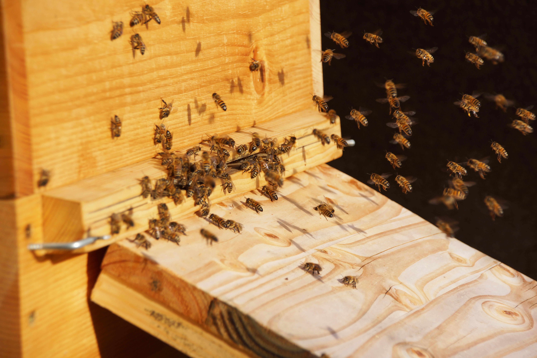 Bienen im Fluge an der Fluögffnung des Bienenkastens.
