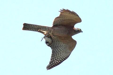 Ein Sperber im Flug mit einem Vogel als Beute in seinen Fängen.